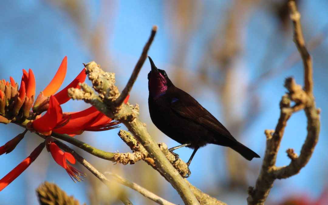 Inspiration from the Black or Amethyst Sunbird